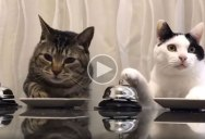 Just Two Cats Politely Ringing a Bell for Food
