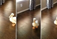 I'm a Simple Person and This Duck Running on Hardwood Makes Me Smile