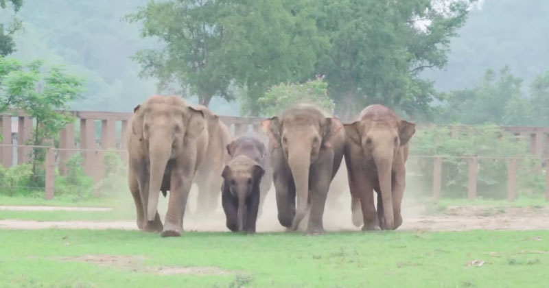 Excited Herd Rushes to Meet New Baby Elephant That Was Just Rescued