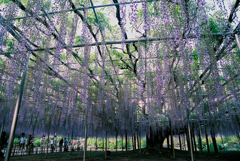 giant wisteria ashikaga flower park japan 1 The 100+ Year Old Wisteria at Japans Ashikaga Flower Park is Incredible