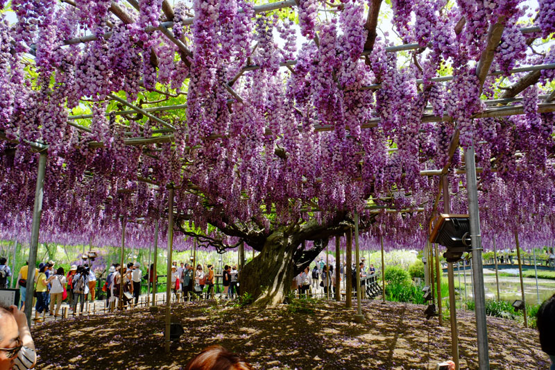 giant wisteria ashikaga flower park japan 5 The 100+ Year Old Wisteria at Japans Ashikaga Flower Park is Incredible