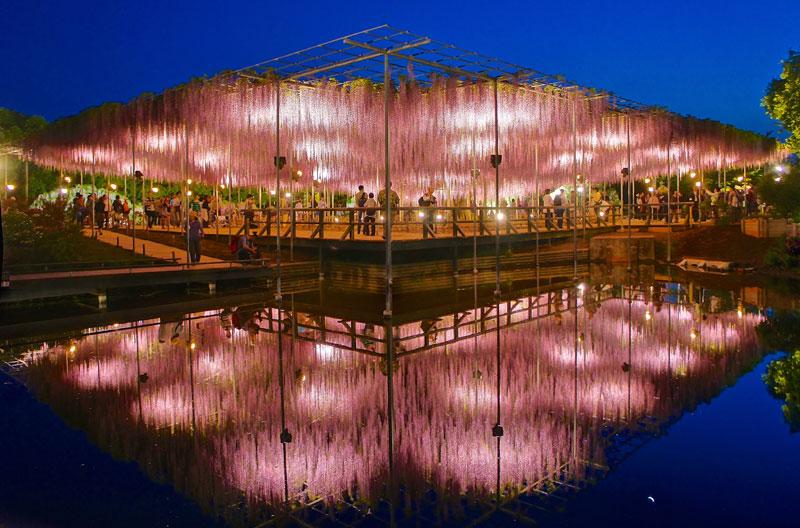 giant wisteria ashikaga flower park japan 7 The 100+ Year Old Wisteria at Japans Ashikaga Flower Park is Incredible