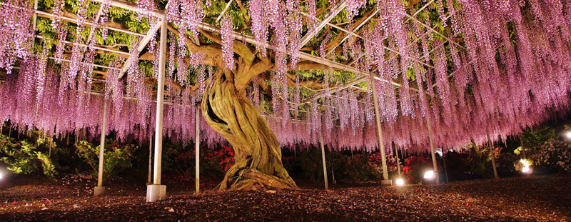 giant wisteria ashikaga flower park japan 8 The 100+ Year Old Wisteria at Japans Ashikaga Flower Park is Incredible