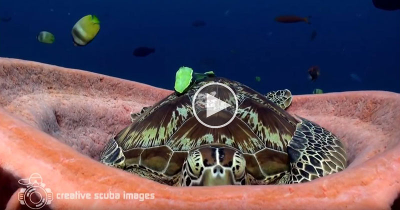 Tired Turtle Takes Nap Inside Sea Sponge