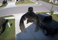 Bird Appears to Float Across Security Cam as Flapping Wings Sync with Frame Rate