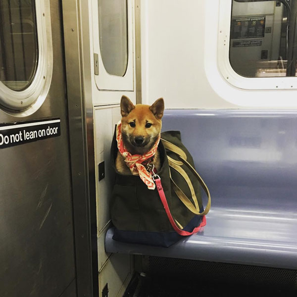 dogs in bags on new york city subway 1 The MTA Banned Dogs on the Subway Unless They Fit in a Bag, but this is New York City