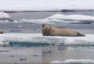BBC Captures Incredible Footage of Starving Polar Bear Ambushing a Seal