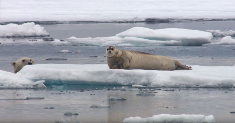 BBC Captures Incredible Footage of Starving Polar Bear Ambushing a Seal