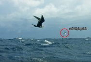 These Fish Literally Learned to Fly to Escape Predators and Now Birds are Eating Them