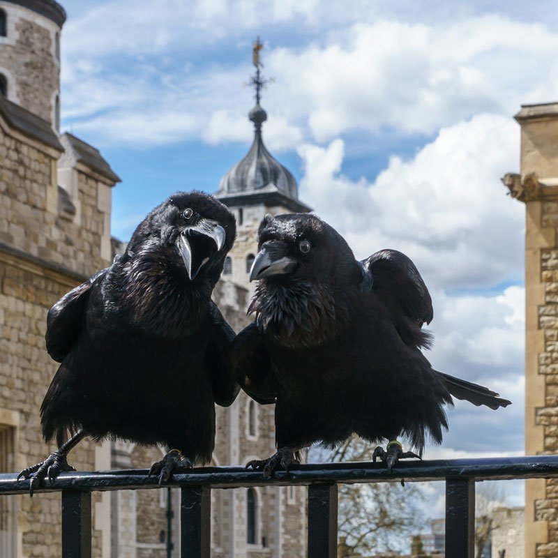 jubilee and munin ravens tower of london The Ravens of the Tower of London