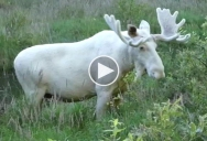 Amazing Footage of Rare White Moose Spotted in Sweden