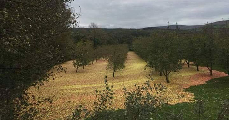 This Apple Orchard After Hurricane Ophelia Passed Through