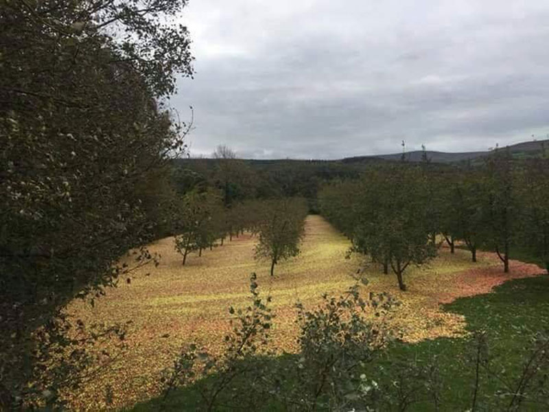 hurricane passes through apple orchard This Apple Orchard After Hurricane Ophelia Passed Through