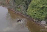 Guy Flying Drone Happens Upon a Moose Battling for its Life with a Wolf