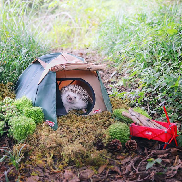 hedgehog azuki goes on camping trip 5 Tiny Japanese Hedgehog Goes on Big Awesome Camping Trip