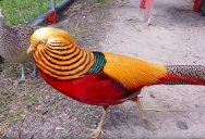 The 'Red Golden' Pheasant is Majestic AF