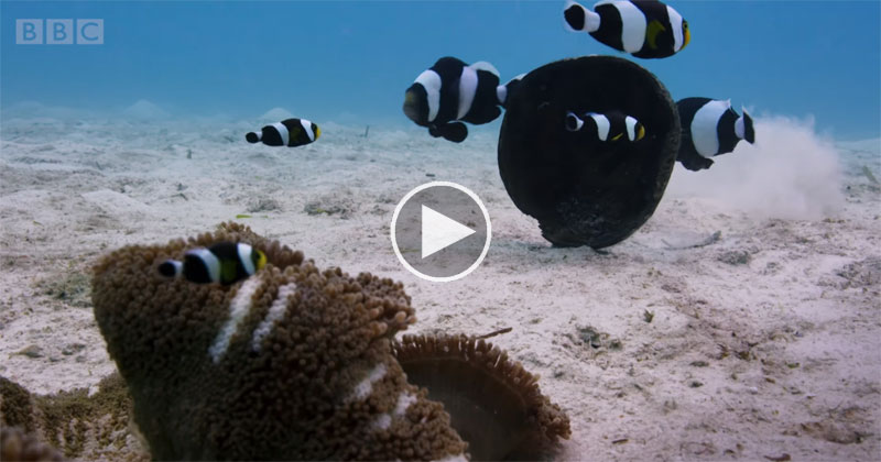 This Clip of Clownfish Working Together Could Be Straight Out of a Disney Movie
