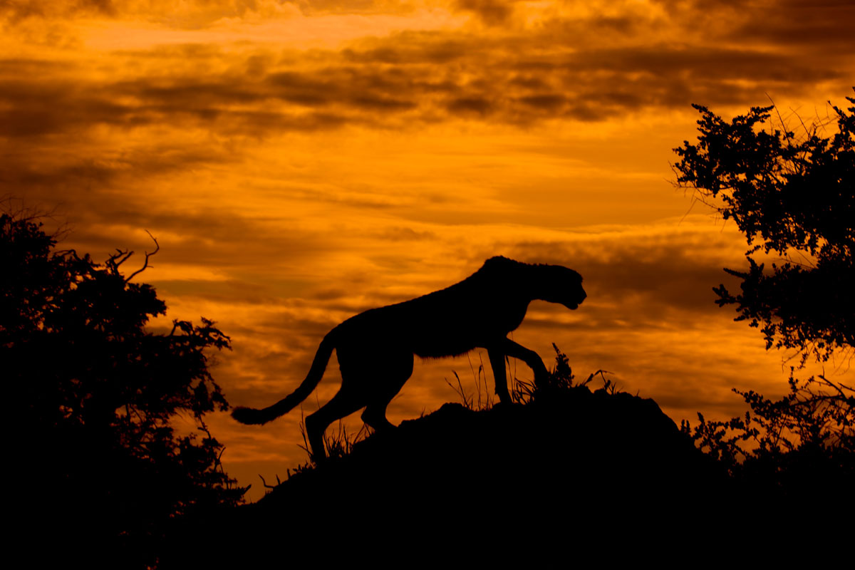 cheetah at sunset Picture of the Day: Silhouettes and Sunsets