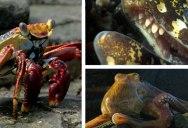 Crab vs Eel vs Octopus – Blue Planet II