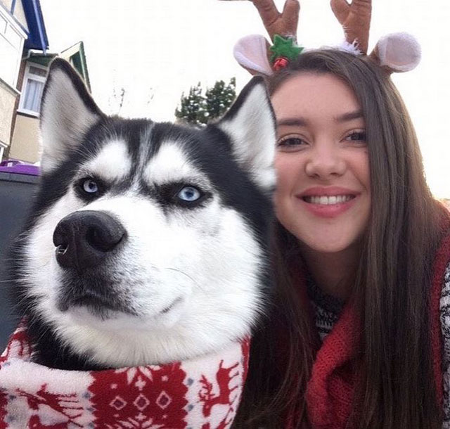 husky wants no part of owners christmas card 5 This Husky Wants No Part of His Owners Christmas Card