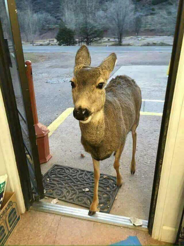 deer comes back to store with entire family 2 Shop Owner Feeds Deer That Wandered In, Deer Comes Back With Entire Family