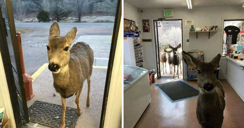 Shop Owner Feeds Deer That Wandered In, Deer Comes Back With Entire Family