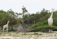 First Known Video Footage of Rare Snow White Giraffe Captured in Kenya