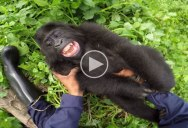 This is Probably the Closest I'll Ever Get to Tickling a Baby Gorilla