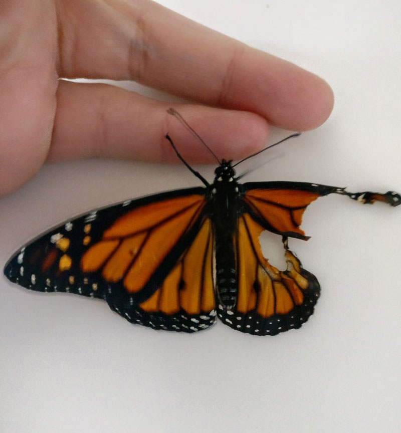 woman gives injured monarch butterfly a wing transplant 1 Woman Gives Injured Monarch Butterfly a Wing Transplant and It Works!