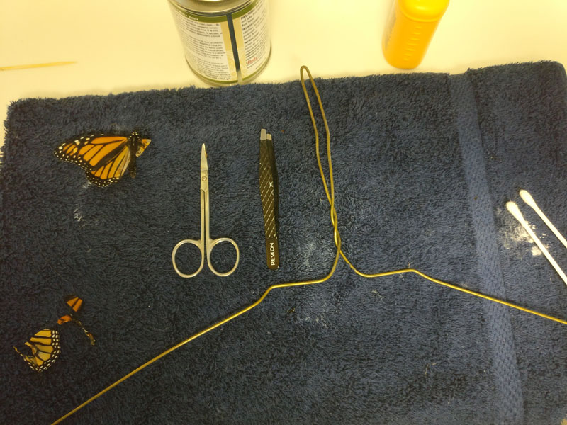 woman gives injured monarch butterfly a wing transplant 2 Woman Gives Injured Monarch Butterfly a Wing Transplant and It Works!