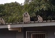 The Amazing Moment a Wild Baby Monkey is Reunited with his Family
