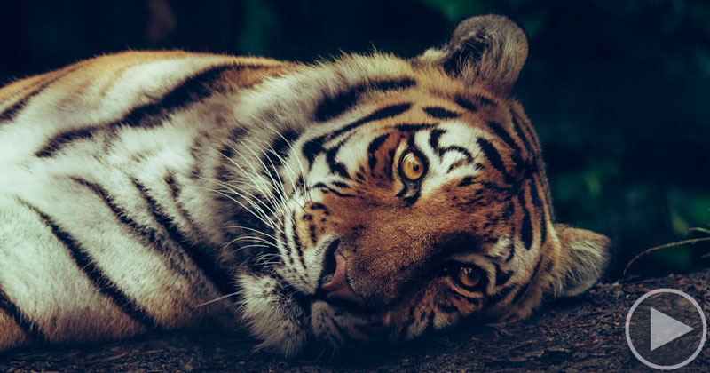 Tigers Can't Purr, So When They're Happy They 'Chuff' Instead