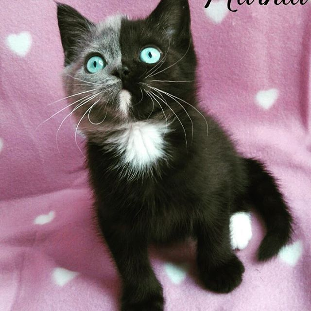 two toned cat narnia stephanie jimenez 1 I Cant Stop Staring at This Two Toned Cat With Blue Eyes (15 Pics)
