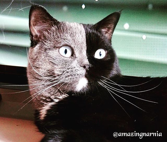 two toned cat narnia stephanie jimenez 12 I Cant Stop Staring at This Two Toned Cat With Blue Eyes (15 Pics)