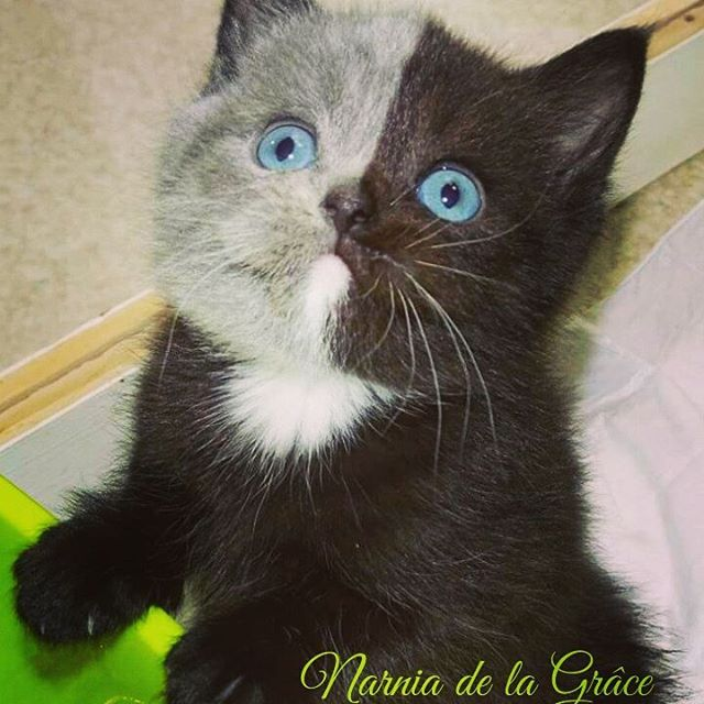 two toned cat narnia stephanie jimenez 4 I Cant Stop Staring at This Two Toned Cat With Blue Eyes (15 Pics)