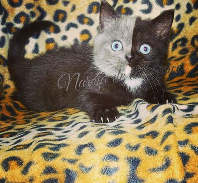 two toned cat narnia stephanie jimenez 5 I Cant Stop Staring at This Two Toned Cat With Blue Eyes (15 Pics)