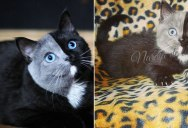 I Can't Stop Staring at This Two Toned Cat With Blue Eyes (15 Pics)
