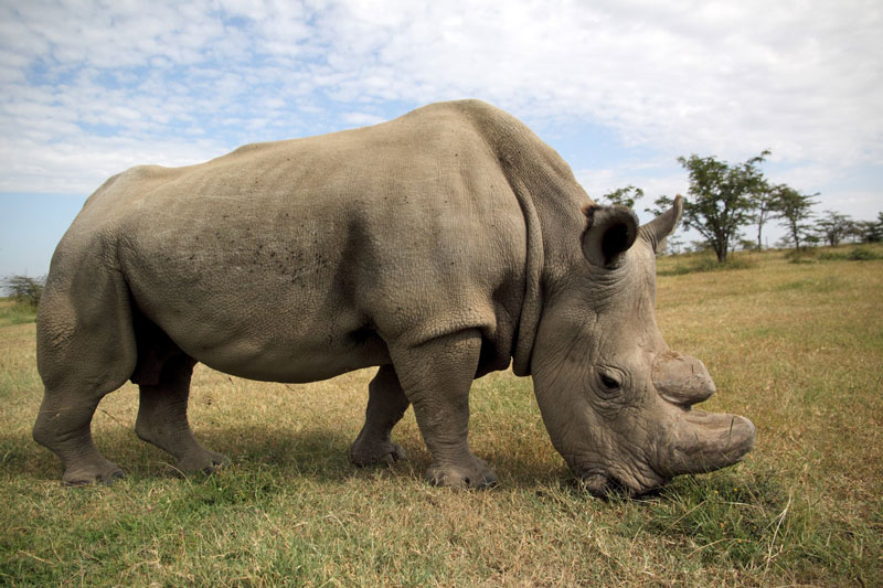 Sudan, the World's Last Male Northern White Rhino, Dies at 45
