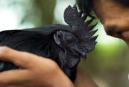 This All Black Chicken is Pure Metal