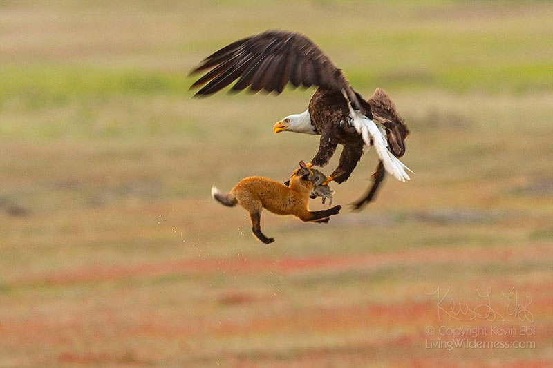 eagle and fox battle mid air over rabbit by kevin ebi 1 Photographer Captures Mid Air Food Fight Between Eagle and Fox