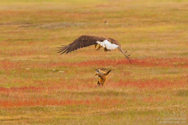 eagle and fox battle mid air over rabbit by kevin ebi 4 Photographer Captures Mid Air Food Fight Between Eagle and Fox