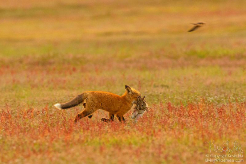 eagle and fox battle mid air over rabbit by kevin ebi 5 Photographer Captures Mid Air Food Fight Between Eagle and Fox