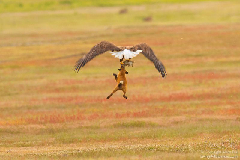 eagle and fox battle mid air over rabbit by kevin ebi 6 Photographer Captures Mid Air Food Fight Between Eagle and Fox