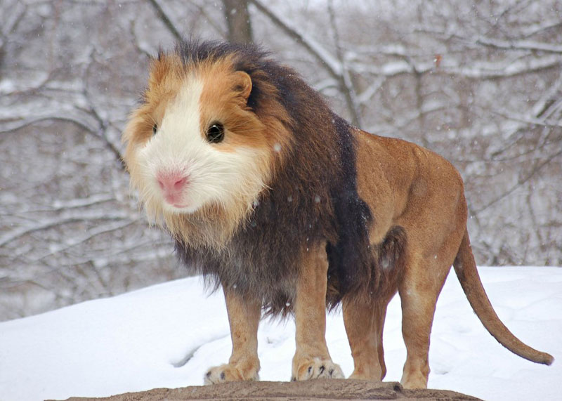 guinealion This Guy Combines Animals in Photoshop and Now I Dont Know Whats Real