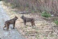 Man Stumbles Upon Two Lynxes Having an Intense Debate About Politics