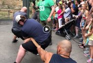 Tug of War: 3 Pro Wrestlers vs a 2.5 Year Old Lion Cub