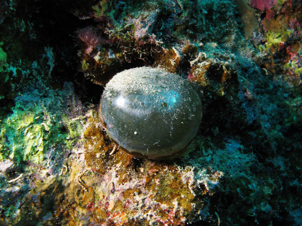 valonia ventricosa in the red sea Believe It or Not, This is a Single Celled Organism, Valonia Ventricosa