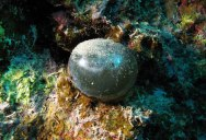 Believe It or Not, This is a Single-Celled Organism, Valonia Ventricosa
