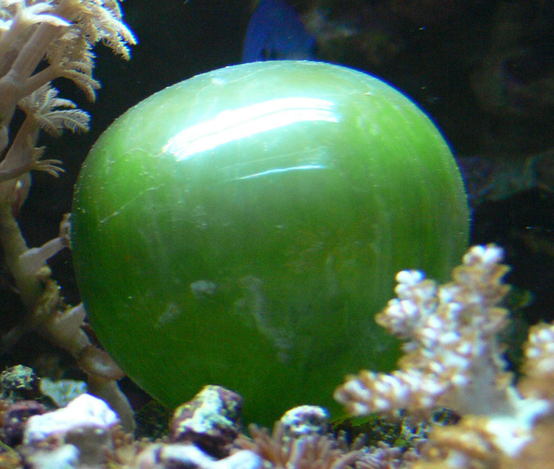 ventricaria ventricosa Believe It or Not, This is a Single Celled Organism, Valonia Ventricosa