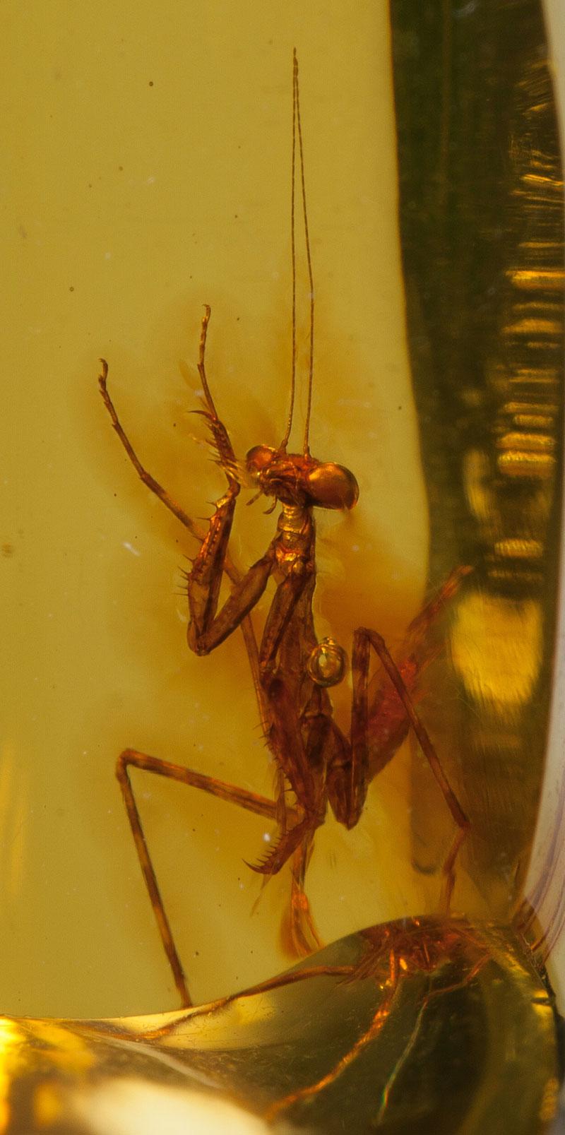 a 12 million year old praying mantis encased in amber 4 A 12 Million Year Old Praying Mantis Encased in Amber